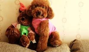 贵宾犬有什么颜色 哪种颜色的贵宾犬最好最贵